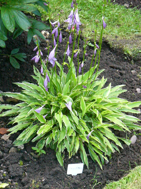 Hosta Stiletto in shaded border