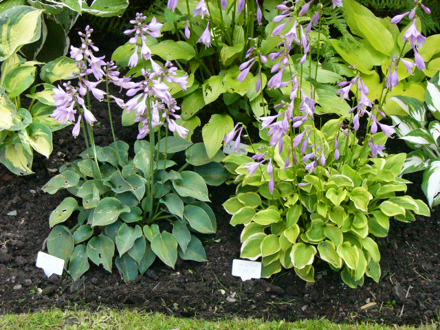 Hosta Pearl Lake and Golden Tiara in shaded border